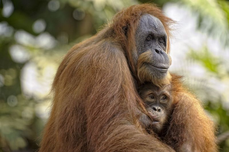 Orang Utan Save Orang Utan Ape Monkey Monkeys Anthropoid Animals Animal Wildlife Wildlife & Nature Love Protected Protection Family