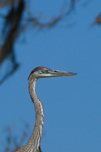 Low angle view of gray heron