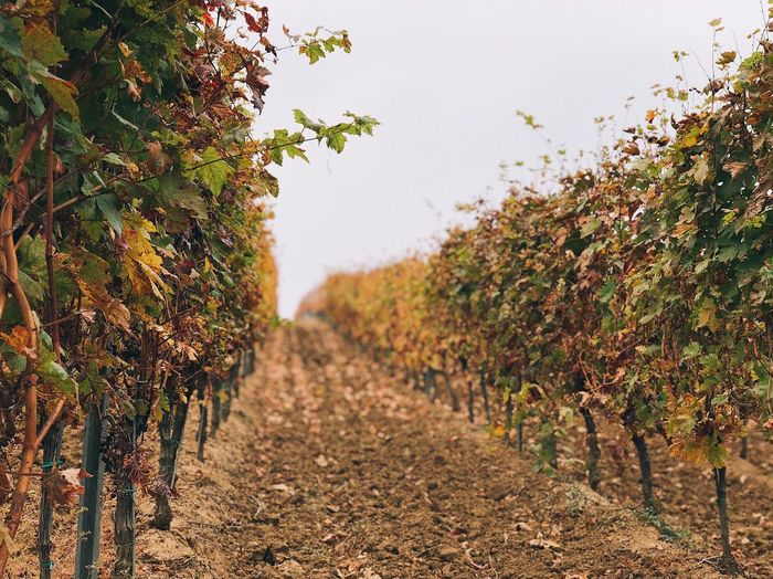 Vineyard in the autumn 🍇... Rural Business Environment Blur Fall Growth Winery Crop  Agricultural Field Agriculture Grapes Wine Oenology Plant Tree Growth Nature Tranquility Autumn No People Scenics - Nature Tranquil Scene Vineyard Rural Scene Vine Beauty In Nature Land Field Landscape Outdoors 17.62°