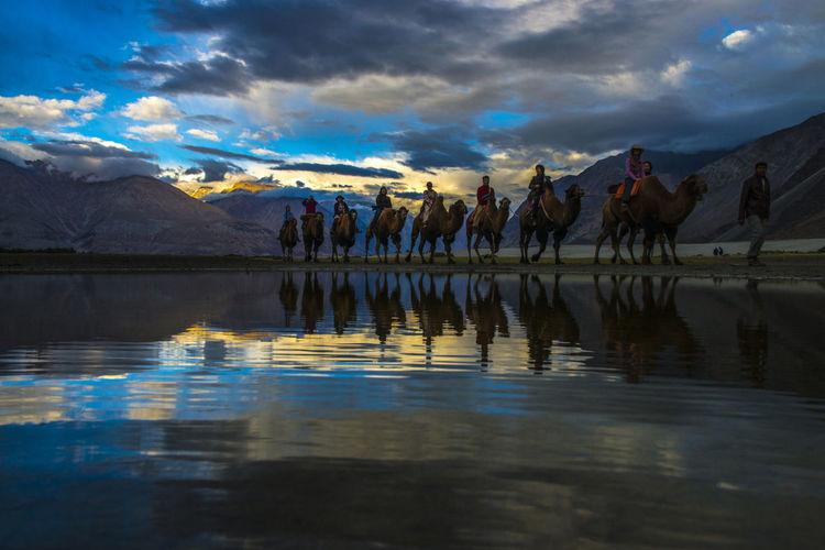 Ladakh, India Ladakh PangongTso Double Hump Camels Ladakhdiaries Leh Leh Ladakh.. Nubra Valley Pangonglake