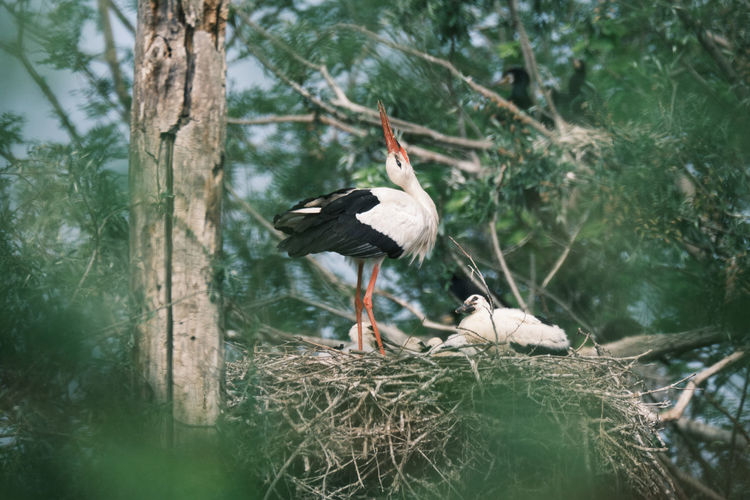White stork family on a tree