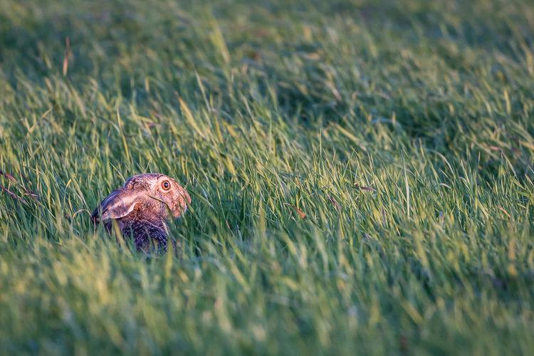Rabbit amidst grass on field