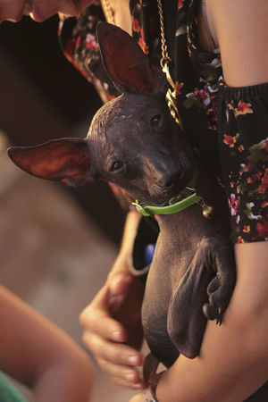 Mexican Hairless Dog Close-up Day Dog Domestic Animals Holding Human Body Part Human Hand Leisure Activity Lifestyles Low Section Mammal Men One Animal Outdoors People Pets Real People Women Xoloitzcuintle