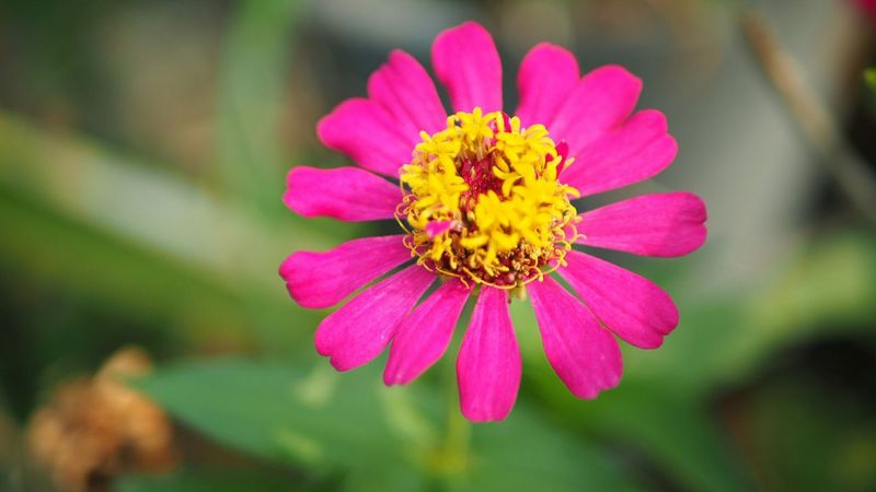 Flower Beauty In Nature Nature Petal Flower Head Freshness Pink Flowers In Bloom Pink Flower Zinnia  Pink Zinnia Yellow Pollens