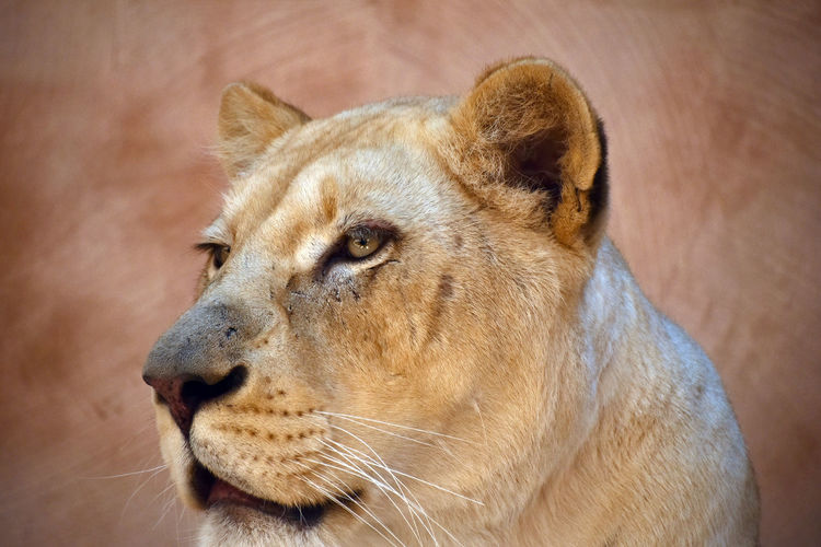 Close-up of lioness against wall at zoo