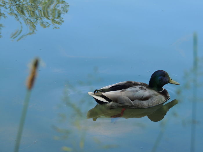 Animal Animal Themes Animal Wildlife Animals In The Wild Bird Day Duck Floating On Water Lake Mallard Duck Nature No People One Animal Outdoors Poultry Reflection Swimming Vertebrate Water Water Bird Waterfront
