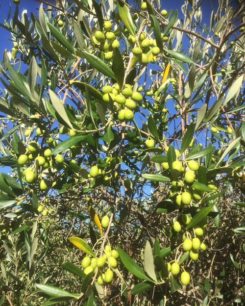 Olea europaea. Green Olive Olive Tree Fruit 😚 Tree Freshness Growing Healthy Eating Yummy Food Photography Olive Orchard Olive Grove Tranquil Scene New Zealands Summer😍 Blue Sky Beauty In Nature Nomnombomb