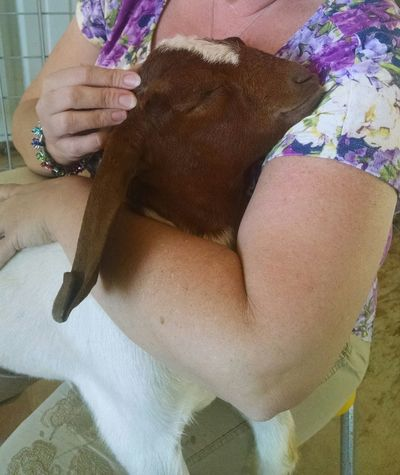 Milo Baby Goat Sweetie❤ Cuteanimals Goat Snugglebuddy Cuddlebuddy Animal_collection Animal Love Beautiful Nature