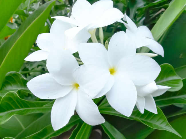 White Color Nature Flower Head Growth Beauty In Nature Flower Plant Freshness Petal Close-up Blossom Outdoors Day White Polynesian