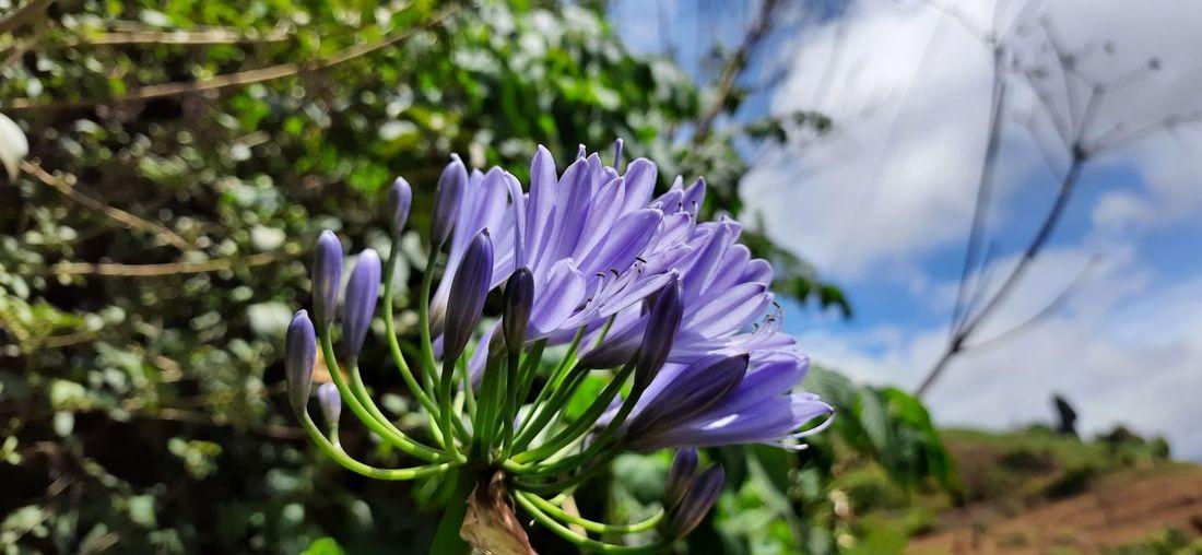 Close-up of purple crocus flower in field