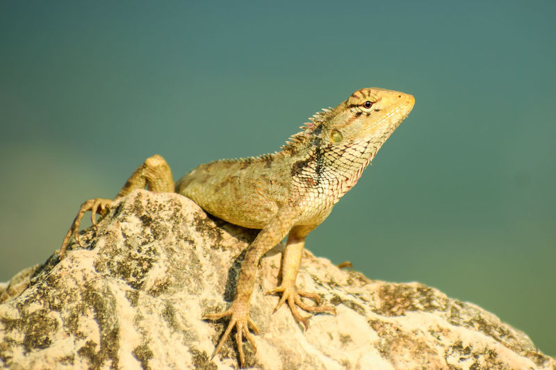 Close-up of a lizard on rock  .