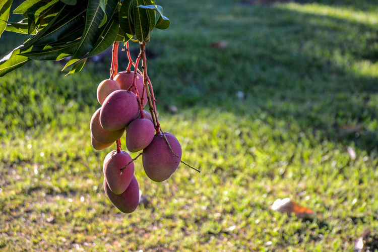 Mangos! Beauty In Nature Botany Bud Close-up Day Field Flower Focus On Foreground Fragility Freshness Grass Green Color Growing Growth Mango Mango Tree Mangos Nature No People Outdoors Petal Plant Purple Selective Focus Tranquility