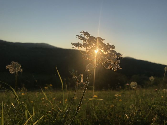 Plants on field against bright sun