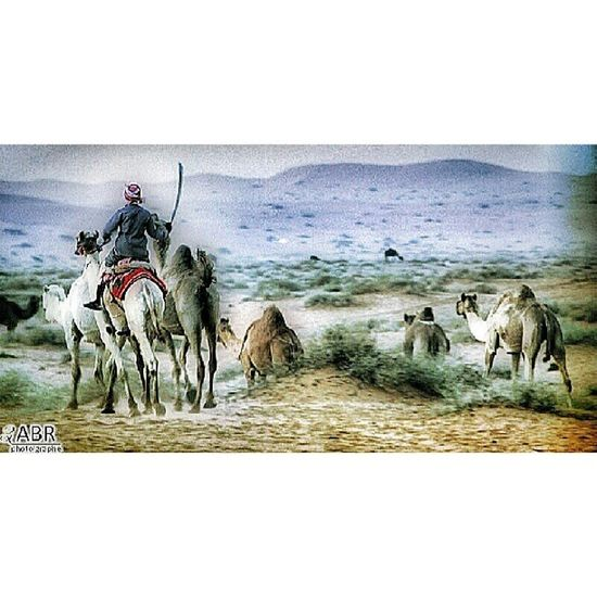 العفجة الربيعية القصيم بعدستي بعير جمل بعارين animals animal pet photooftheday pets animales Camel cute nature hdr