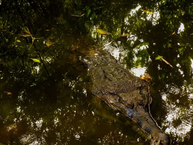 Photography Zoo Animals Crocodile Predator Alligator Reflection Tree Water Branch Forest Underwater Lake Reptile Calm