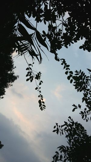 Tree Low Angle View Sky Silhouette Leaf Cloud Nature Cloud - Sky Beauty In Nature Leaves Outline Treetop Hong Kong Thepeak 盧吉道