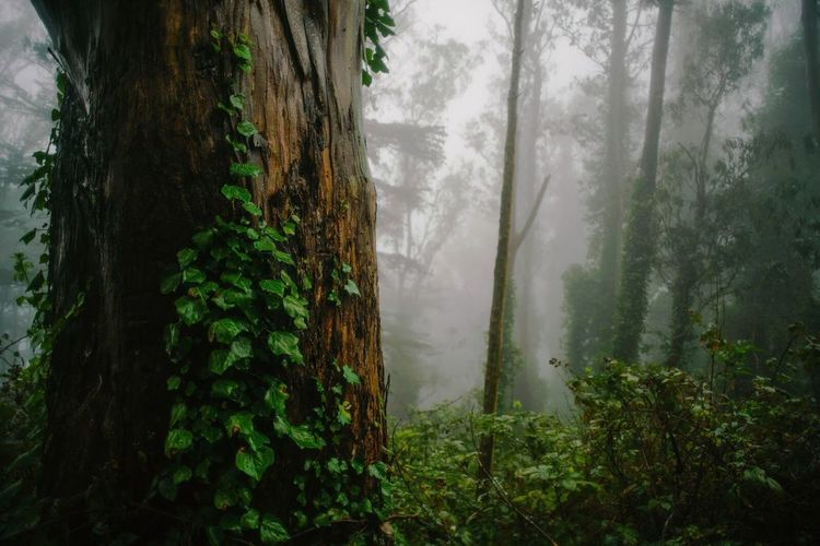 Close-Up Of Ivy Growing On Tree Trunk In Forest During Foggy Weather