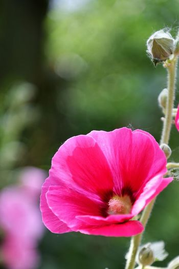 Flower Flowering Plant Fragility Vulnerability  Plant Beauty In Nature Freshness Close-up Pink Color Growth Flower Head Focus On Foreground Petal Inflorescence Nature No People Day Pollen Selective Focus Softness