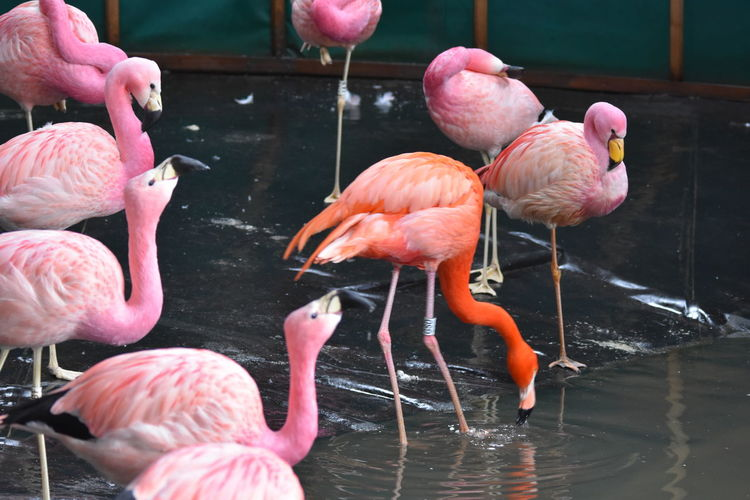 Flamingo Animal Animal Neck Animal Themes Animal Wildlife Animals In The Wild Beauty In Nature Bird Day Flamingo Flock Of Birds Freshwater Bird Group Of Animals Lake Large Group Of Animals Nature No People Orange Color Outdoors Pink Color Reflection Vertebrate Water