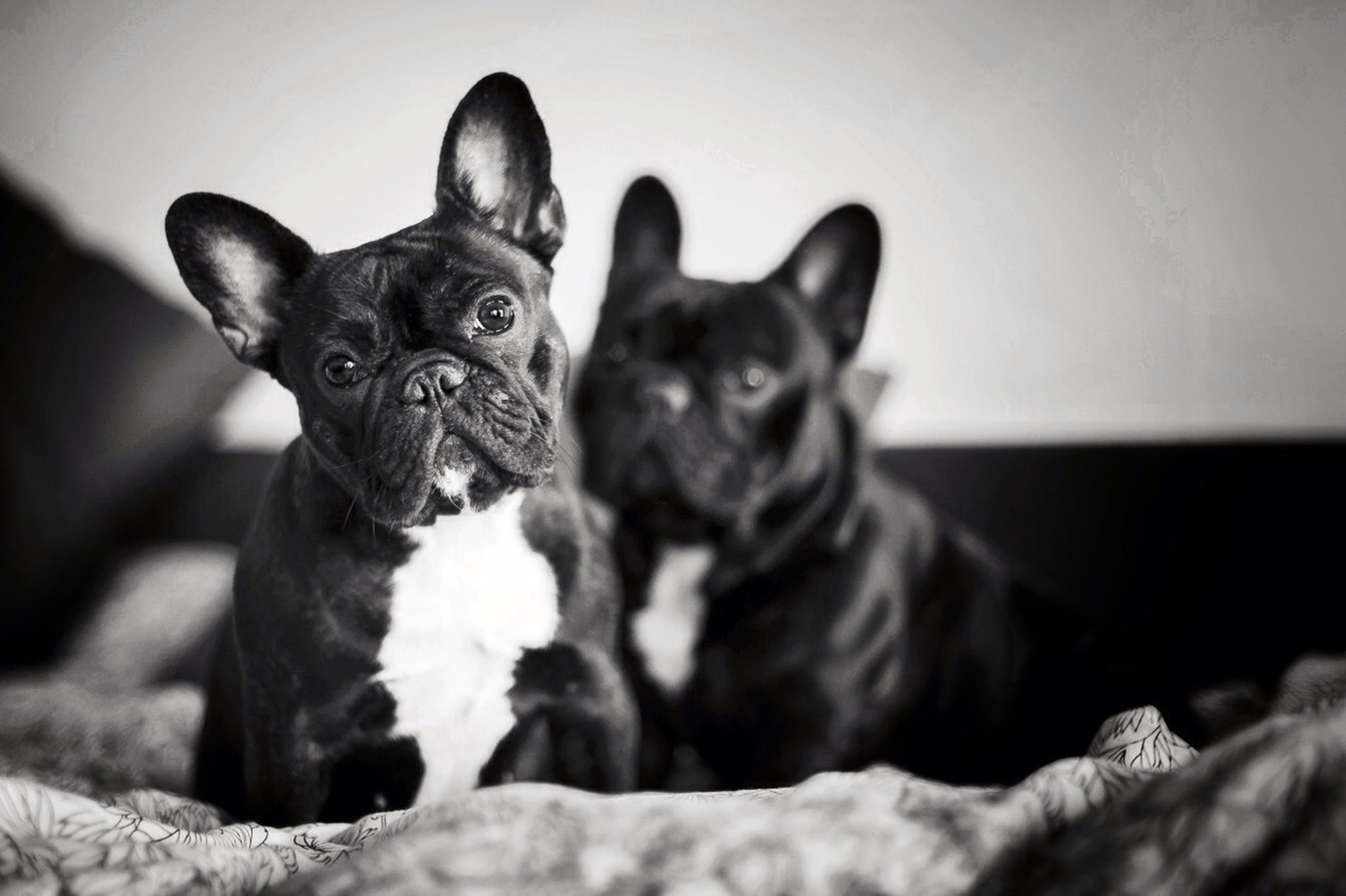 domestic animals, pets, animal themes, mammal, one animal, dog, portrait, looking at camera, indoors, two animals, togetherness, relaxation, black color, home interior, sitting, lying down, resting, young animal, pet collar, close-up