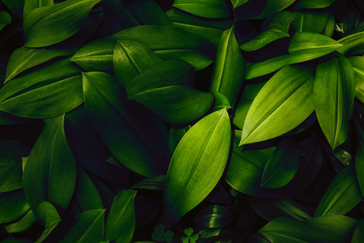 Green leaves Tropical garden for pattern background, Dark color Flat lay backdrop Aerial Autumn Background Banana Banner Beach BIG Bright Card Closeup Collage Dark Exotic Fall Flora Floral Flower Foliage Forest Frame Green Greenery Hawaii Hipster Jungle Landscape Leaf Many Minimal Modern Monstera Nature October Organic Palm Pattern Photo Plant Postcard Print Rainforest Shadow Spring Summer Texture Tree Tropic Tropical Wallpaper Wood