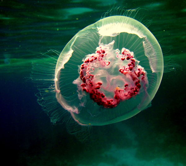 jelly fish Red sea underwater fish red sea fish underwater diving underwater photography Red Sea Fish Underwater Diving Coral Sea UnderSea Sea Life Water Underwater Sea Jellyfish Swimming Close-up