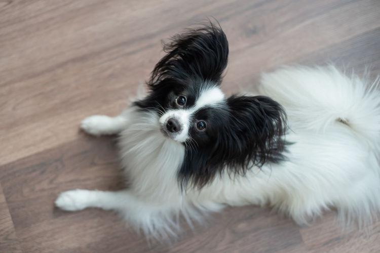 High angle view of dog on hardwood floor