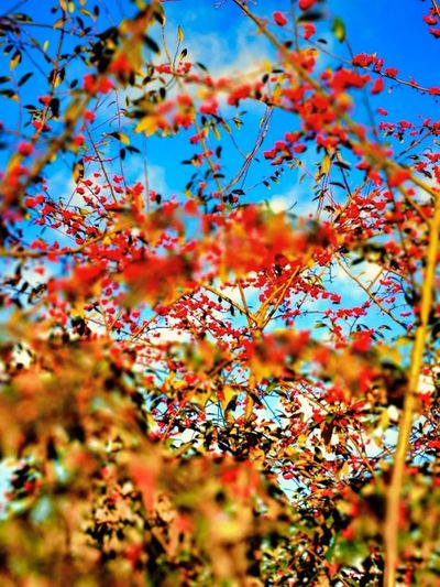 Live Life To The Fullest Live The Moment  See The World Differently Autumn Beauty In Nature Branch Change Close-up Day Freshness Growth Leaf Live Authentic Low Angle View Maple Leaf Nature No People Outdoors Photowalktheworld Plant Plant Part Rowanberry See The World Through My Eyes Selective Focus Sky Sunlight Tranquility Travel Destinations Tree