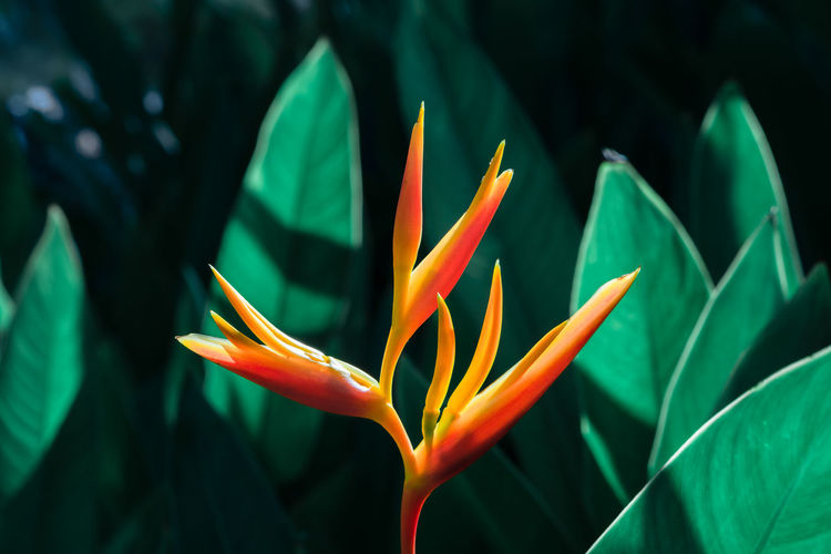 Heliconia psittacorum or False Bird of Paradise Flower with green leaves background. Growth Plant Plant Part Leaf Beauty In Nature Green Color Bird Of Paradise - Plant Close-up Vulnerability  Freshness Fragility Nature Flowering Plant No People Flower Focus On Foreground Inflorescence Day Flower Head Petal Bird Of Paradise Heliconia Tropical Psittacorum Leaves