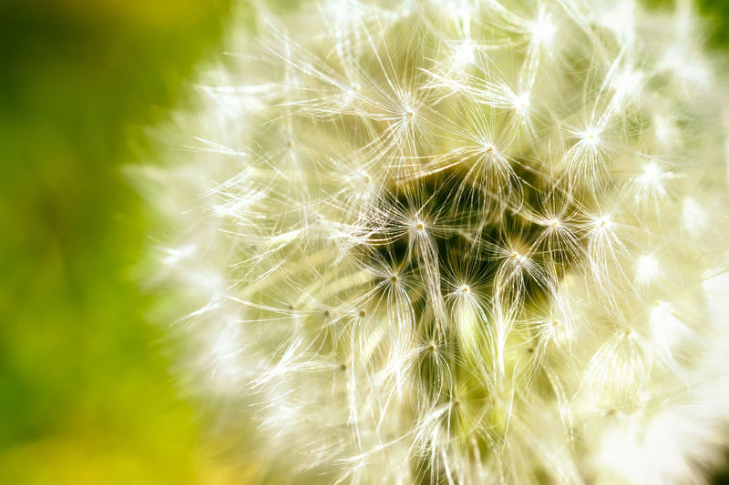Beauty In Nature Close-up Dandelion Flower Fragility Freshness Growth Nature Plant Softness Wildflower Macro Macro Photography Macro Nature Dandelion Seed Dandilion  Nikon D810 Green