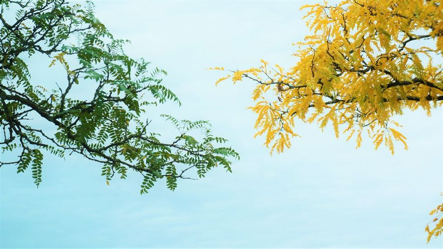 Changing and Growing Apart Plant Tree Sky Beauty In Nature Branch Growth Nature Low Angle View Tranquility Day Leaf Plant Part Green Color Outdoors Freshness Fragility Vulnerability  Treetop High Key High Key Photography Autumn Autumn colors Autumn Collection