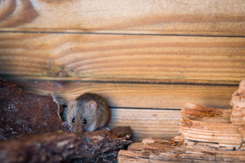 mouse 🐭 Garden Photography Wildlife Field Mouse Mouse One Animal Animal Themes Mammal No People Domestic Cat Animals In The Wild Animal Wildlife Nature Close-up