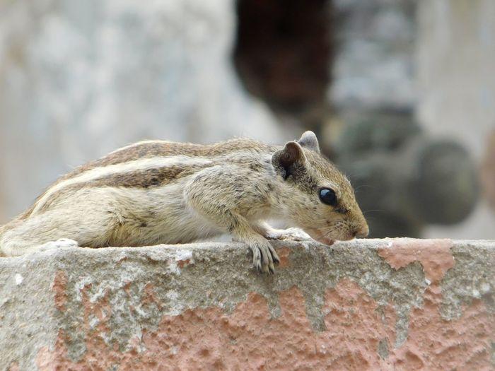 Close-up Chipmunk Rodent Acorn Hokkaido Rearing Up Squirrel Tail Peanut - Food