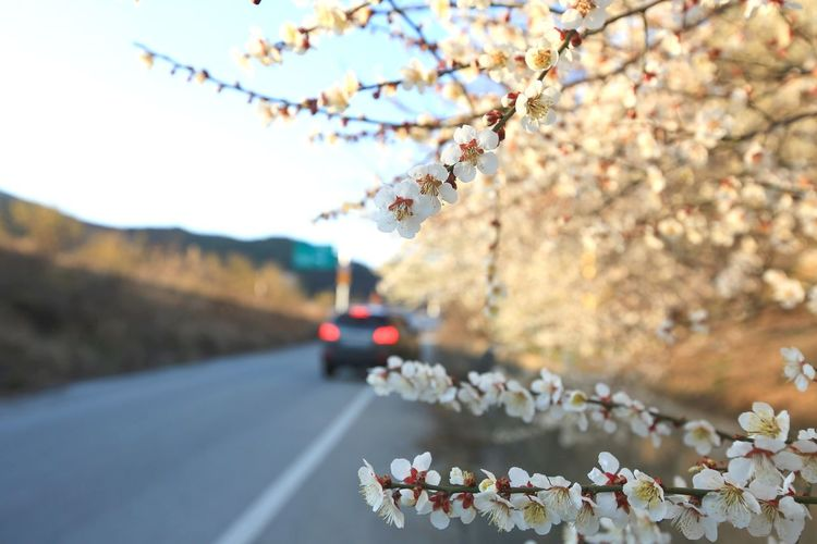 Cherry blossoms on road