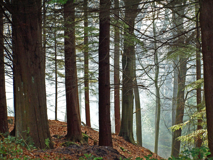 Broadleaf Calming Calming Views Conifer  Coniferous Trees Conifers EyeEm Best Shots EyeEm Nature Lover Deciduous Trees Fog Leafs Relaxation Relaxing Relaxing Moments Scenic Showcase March Tree Tree Trunk Tree_collection  Trees Trees Without Leafs Wood The Great Outdoors - 2016 EyeEm Awards Woodlands Woods Perspectives On Nature