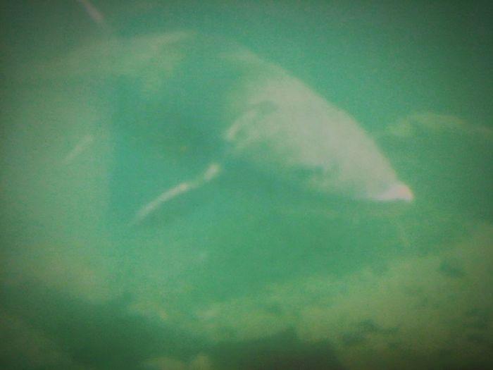 Charlie the 18 ft Sturgoin,that lives at Bonnivillr Fish Hatchery across fton Beacon Rock Hello World