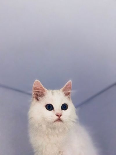 Low angle portrait of white cat at home