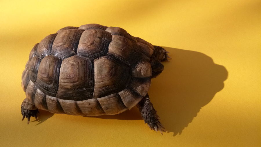 EyeEm Selects Tortoise Shell Tortoise Reptile Yellow Background Yellow Colored Background Textured  Close-up Turtle