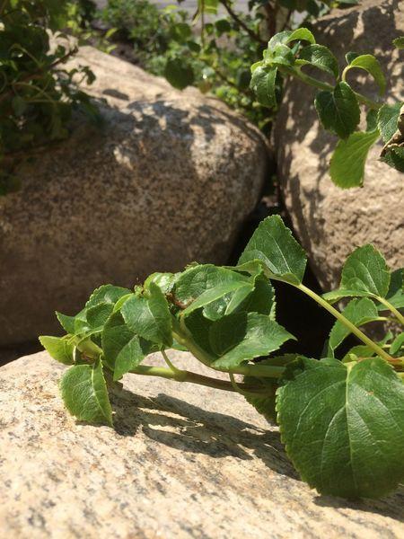 Stone Sweden Hortensia Flower Porn