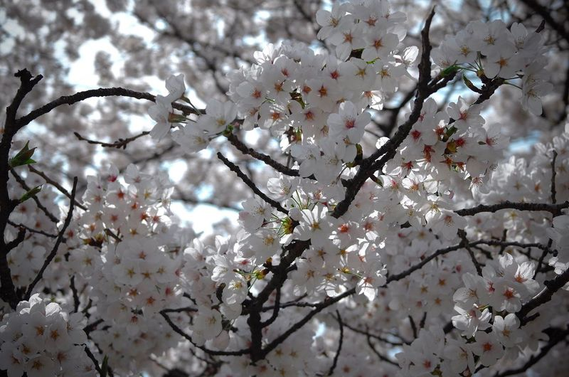 BLOSSOMING TREE AGAINST SKY