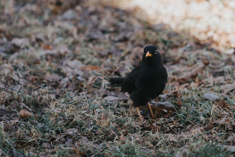 Blackbird on grassy field