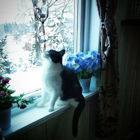 Junior from Norway 💖 Check This Out Hello World Norwegian Winter Eyem Best Shots Eyem Best Shot - My World February 2016 Norway It's Cold Outside Home Sweet Home Winter Adoptedcat Tuxedocat Tuxedocats Window My Cats Are Cooler Than Your Kids Junior  Ilovemycat Cat Lovers