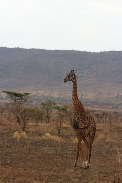 Animal Animal Themes Animals In The Wild Beauty In Nature Full Length Giraffe Giraffe Profile Herbivorous Landscape Mammal National Park Nature Nature One Animal Safari Safari Animals Scenics Serengeti Serengeti National Park Serengeti, Tanzania Standing Tranquil Scene Tranquility Wildlife Zoology