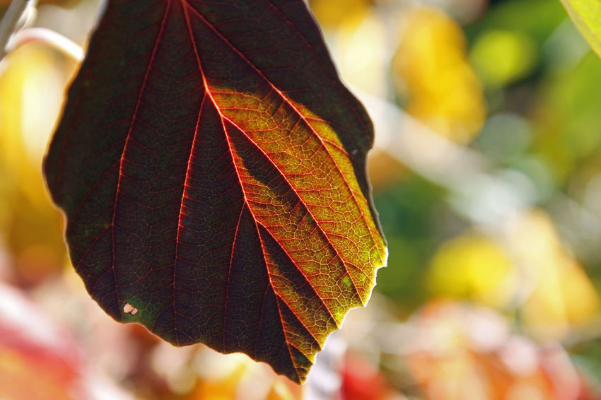 the colours of nature... Backlight Autumn Beauty In Nature Change Close-up Day Focus On Foreground Fragility Green Color Growth Leaf Maple Maple Leaf Nature No People Outdoors Sunlight Witch Hazel