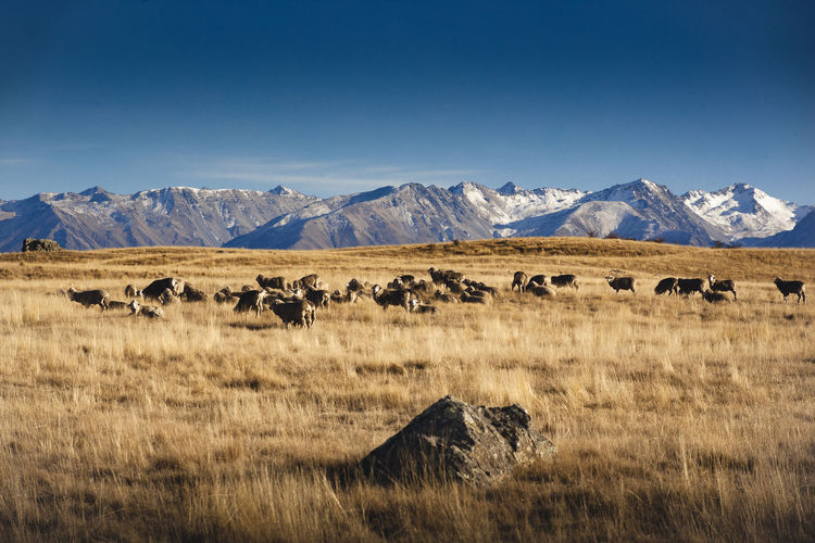 Animal Animal Themes Beauty In Nature Blue Copy Space Day Environment Field Grass Group Of Animals Herd Land Landscape Large Group Of Animals Mammal Mountain Mountain Range Nature No People Prairie Scenics - Nature Sky Snowcapped Mountain