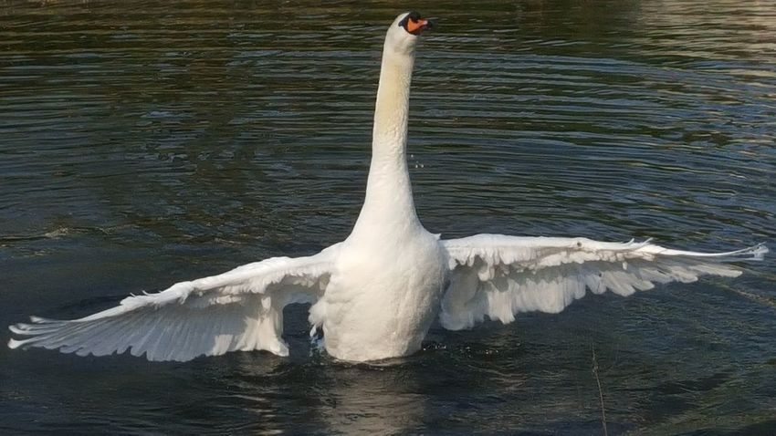 Animals Animal Photography Schwan  Swan Cologne Köln Hello World Nofilter Schönes Wetter Enjoying Life