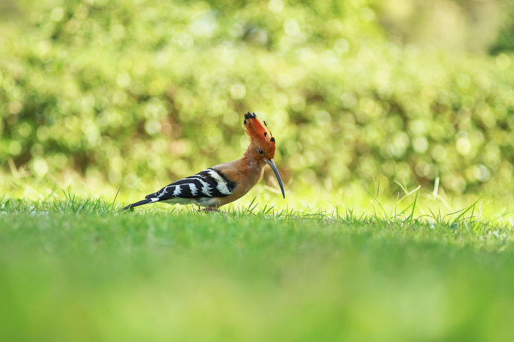 side view of a beautiful Upupa epops in science name or Common Hoopoe in common name. walking and looking for prey on ground. at Thailand 2017. Hoopoe Bird Upupa Epops Green Sunlight Ground Orange Color Focus On Foreground Day One Animal Surface Level Grass Garden Park Copy Space Space Side View Beautiful Beauty In Nature Looking Walking Outdoor Avian Eurasian One Person Standing Nature