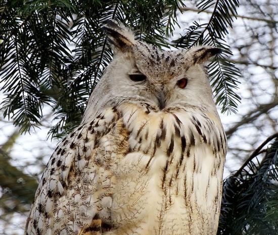 Uhu Eagle Owl  Bird Bird Photography Birds🐦⛅ Birds_collection Birds Of EyeEm  Animal Animal_collection Animal Close Up Irritated