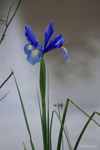 ⭐️阿蘭陀菖蒲(オランダアヤメ)⭐️Netherlands iris Netherlands Iris Flower EyeEm Flower Flower Photography 阿蘭陀菖蒲 オランダあやめ 菖蒲 Japan