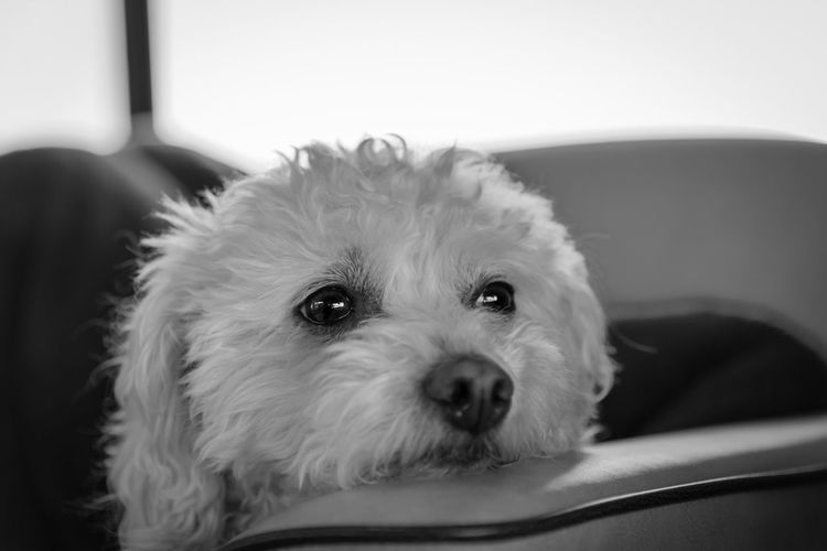 On the road to adventure EyeEm Selects One Animal Mammal Animal Themes Pets Domestic Animals Dog Indoors  Looking At Camera Close-up Portrait No People Day